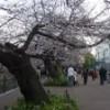 今日の千鳥が淵の桜